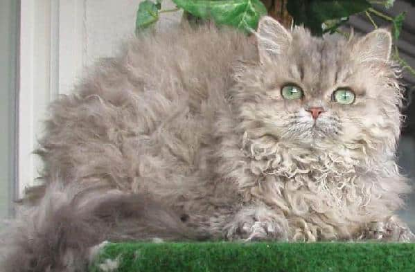 Selkirk Rex breed info