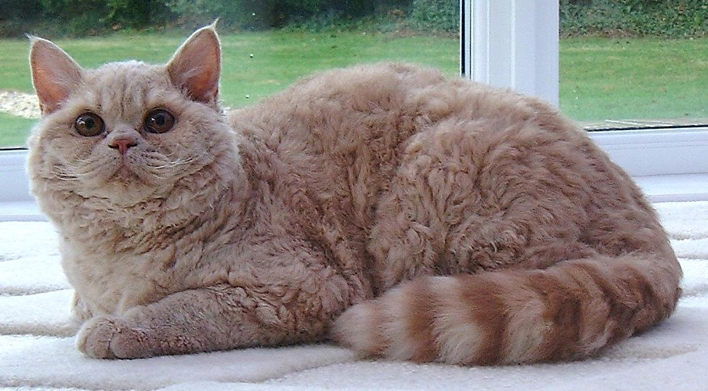 selkirk rex cat breed
