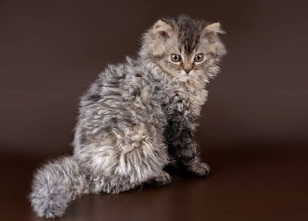 Selkirk Rex: Pictures, Personality, and How to Care for ...