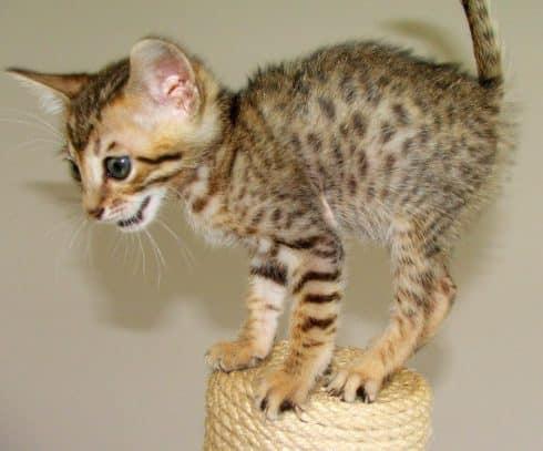 serengeti cat breed info