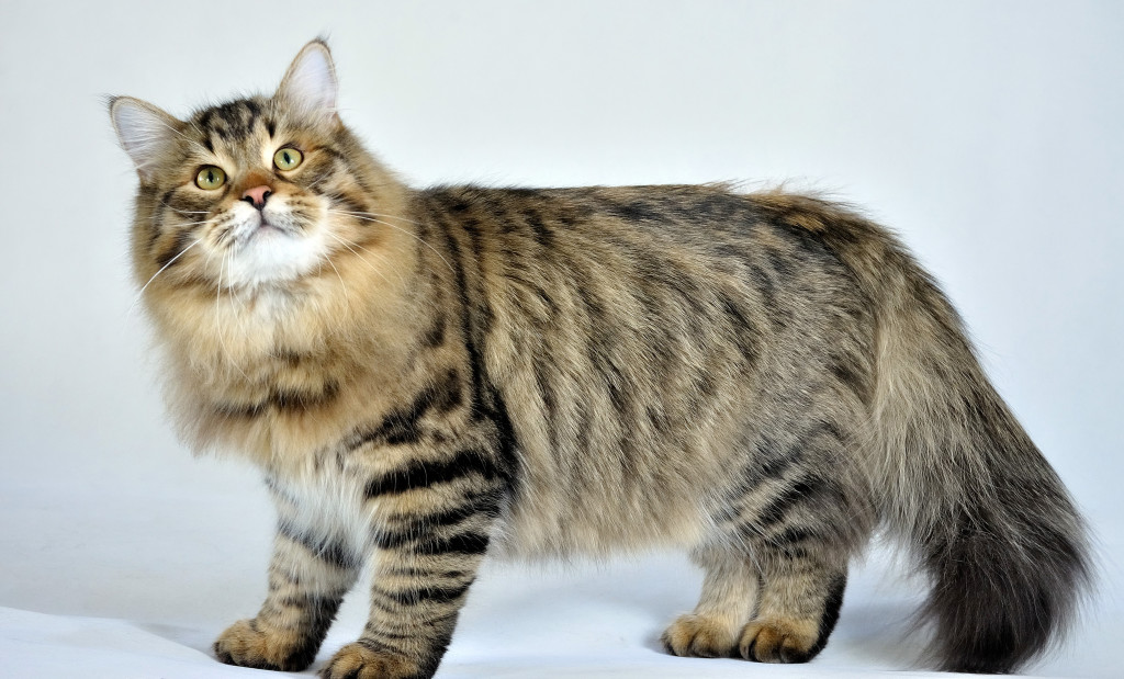 Siberian Cat Purrfect Cat Breeds