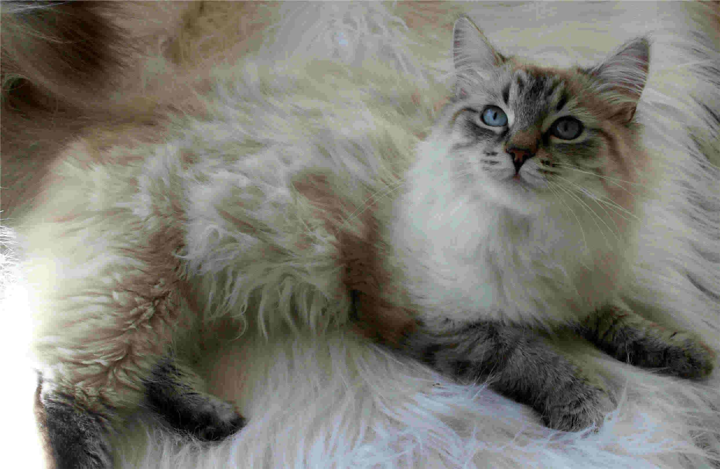 Siberian Cat – Purrfect Cat Breeds