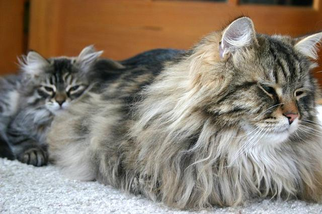 photo gallery of breed siberian forest cat cat breed