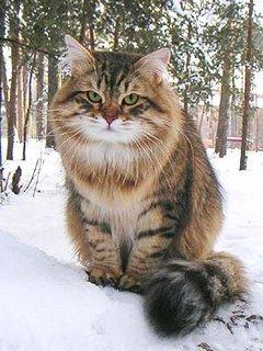 siberian cat personality