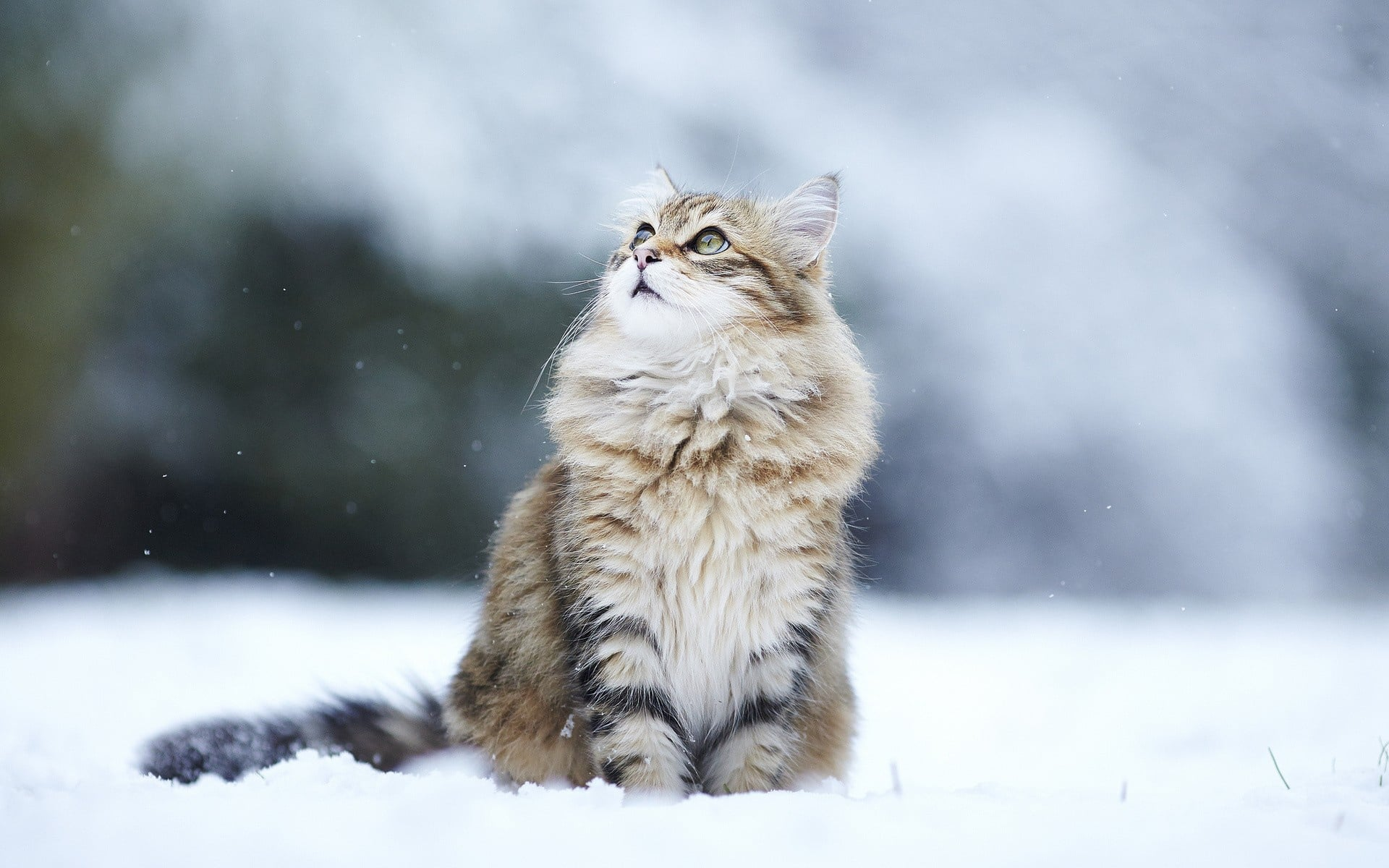Hypoallergenic cat. Cat Breeds - photos, description 26