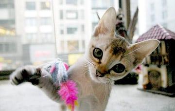 singapura cat breed info