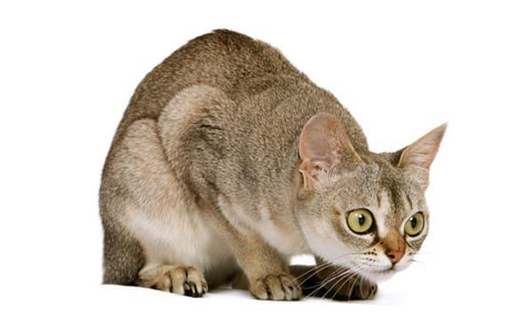 singapura cat personality