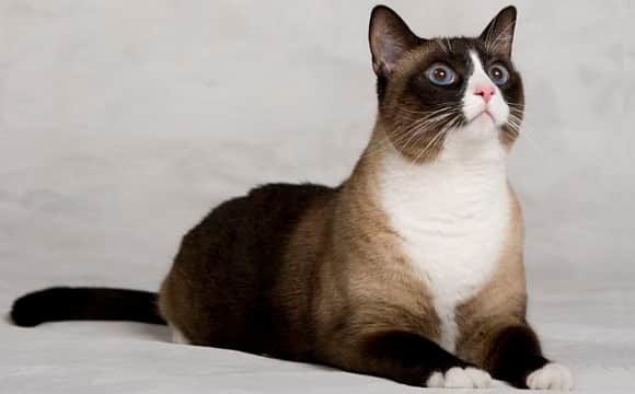 Snowshoe Cat – Purrfect Cat Breeds