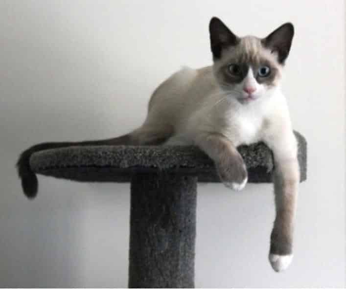 snowshoe cat breed info