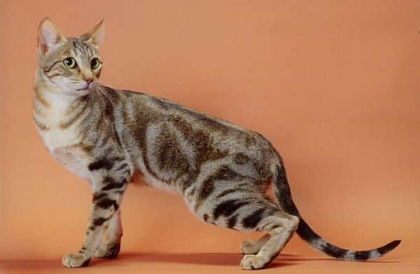 sokoke cat breed