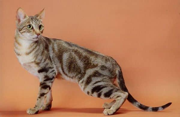 Sokoke Cat breed info