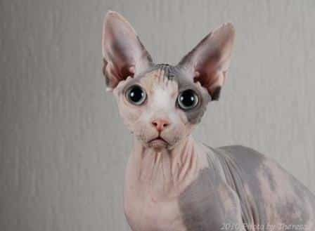 Show Me Pictures Of Egyptian Cats