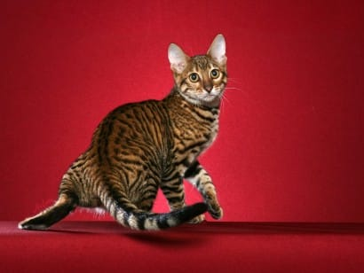 toyger cat breed info