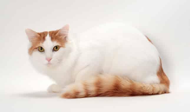 turkish van cat info
