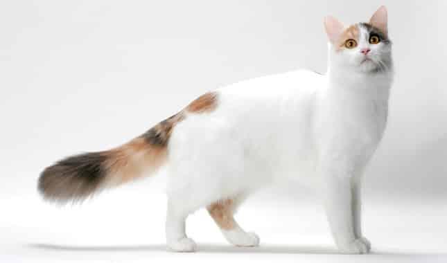 turkish van cat personality