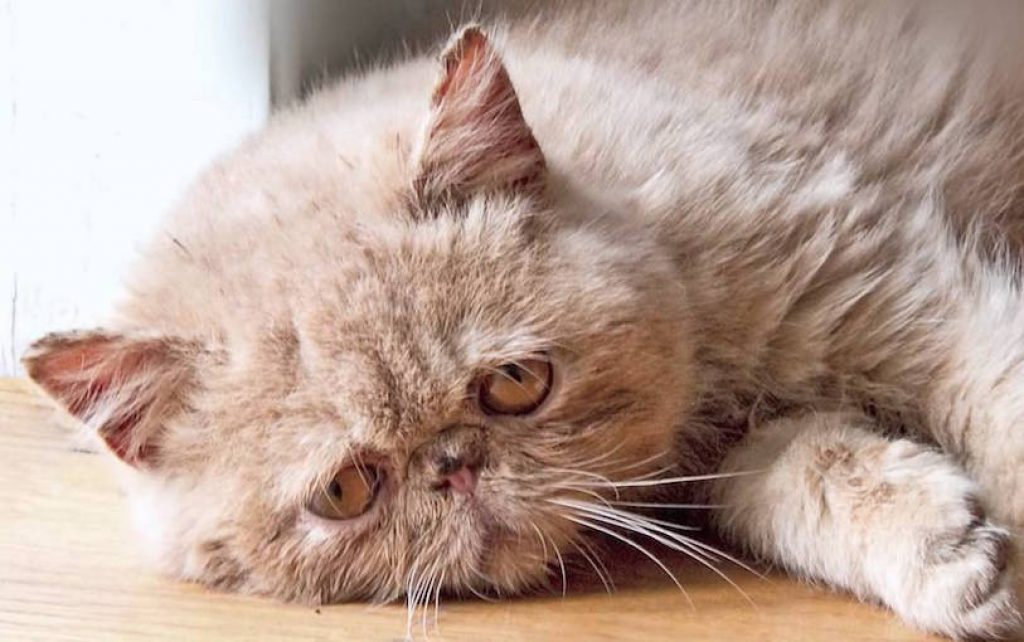 Can Cats Get Depressed Signs And Treatment For A Sad