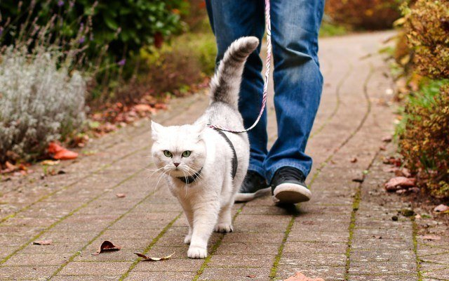 how-to-leash-train-a-cat
