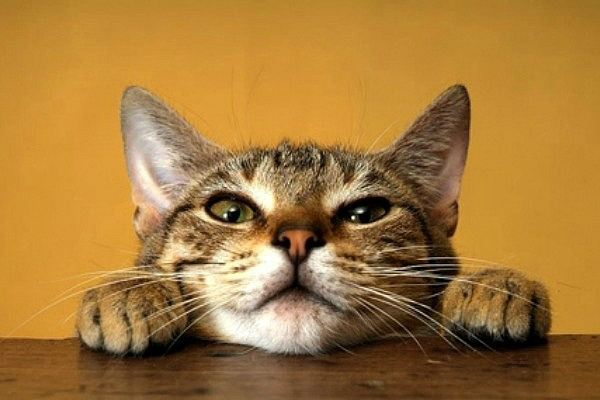 what-makes-cats-purr