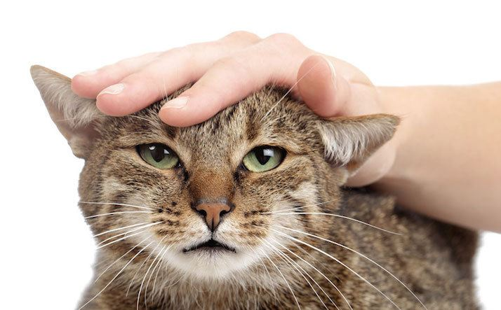 why-do-cats-purr-when-you-pet-them