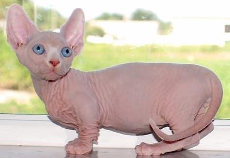 Bambino-Cat-Breed