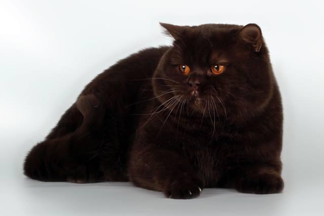 black-british-shorthair