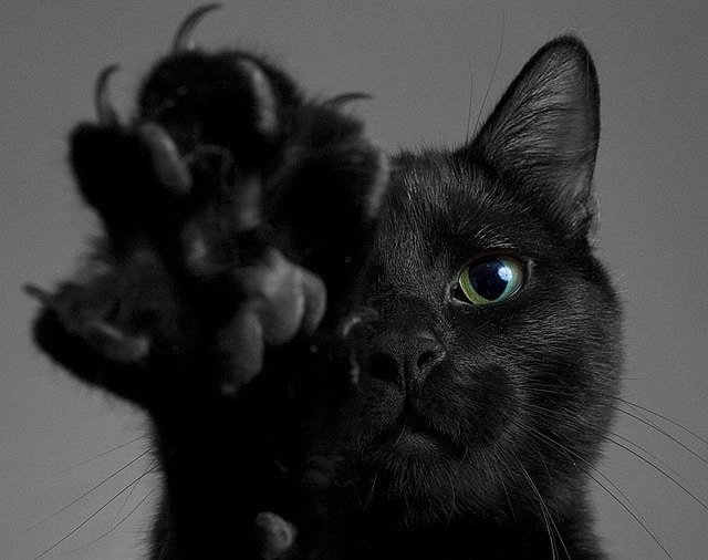 Black Cats That Act Like Dogs