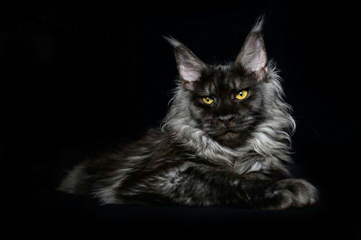 black-maine-coon-cat-breed