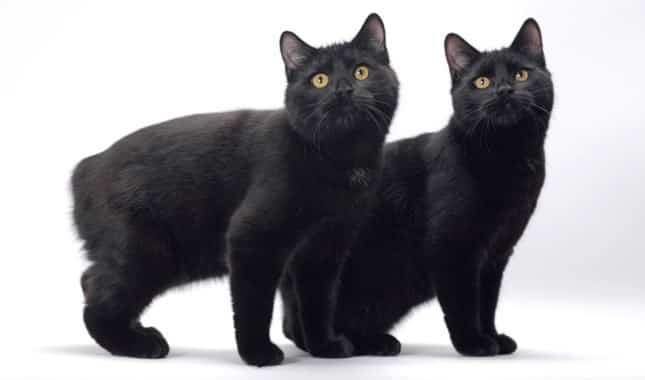 black-manx-cat-breed