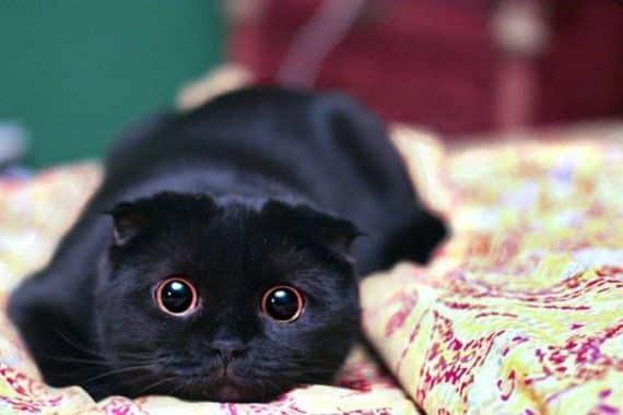 black-scottish-fold-cat-breed