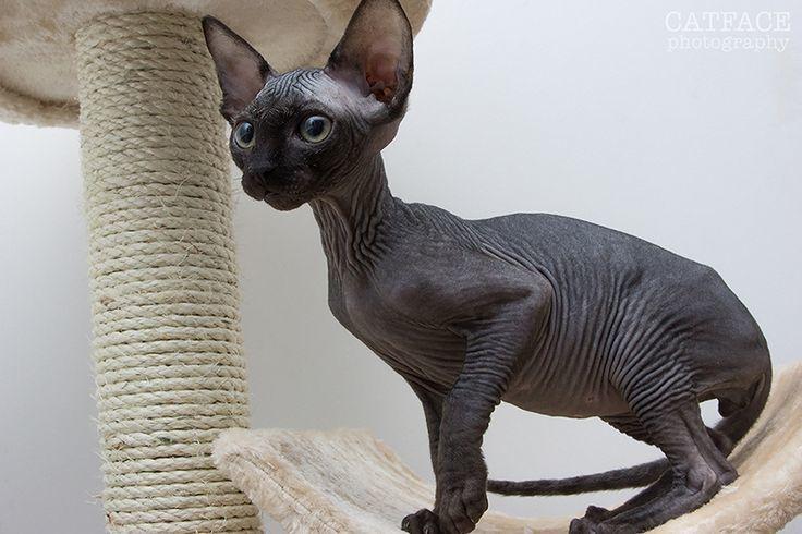 black-sphynx-cat-breed