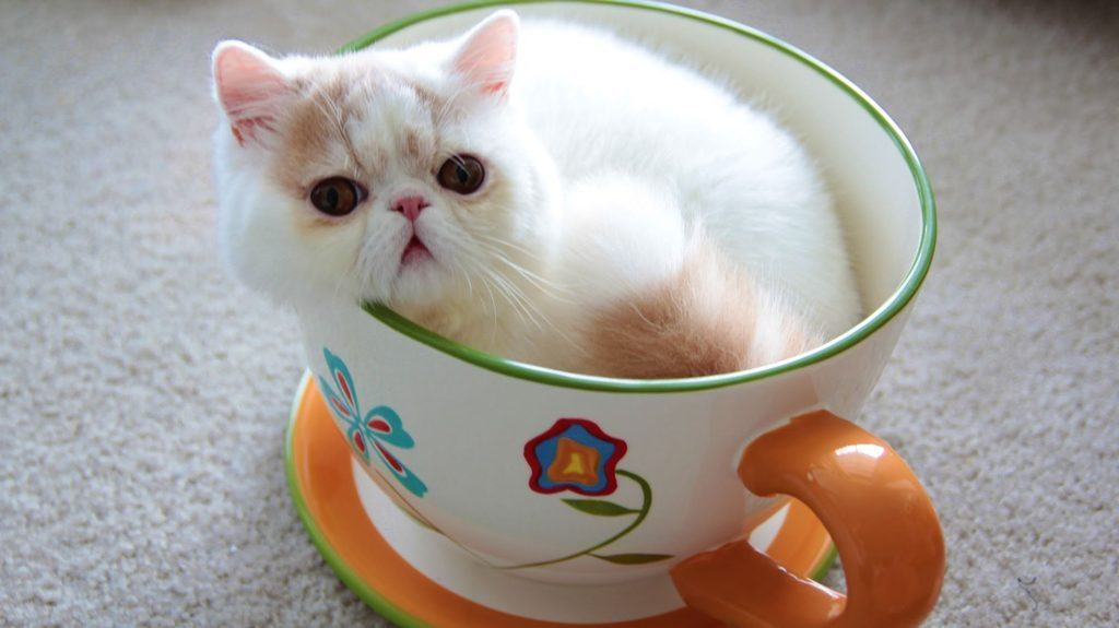 teacup cats miniature cats and toy cats � purrfect cat breeds