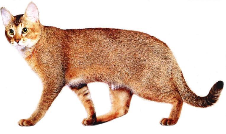 orange-chausie-cat-breed