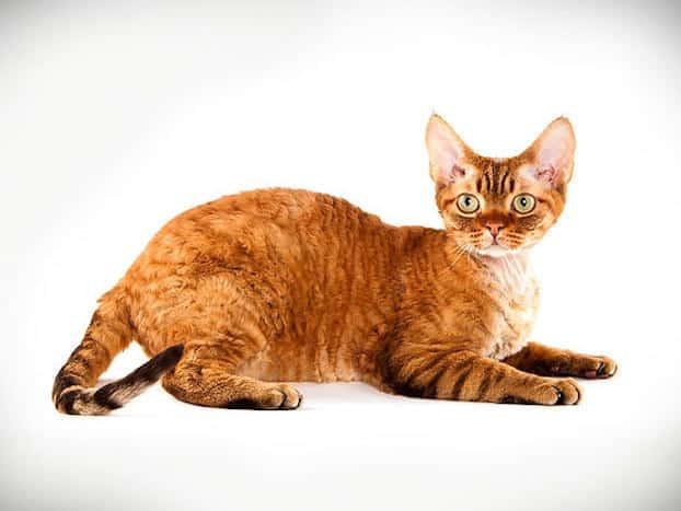 orange-devon-rex-cat-breed
