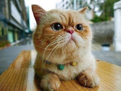 orange-exotic-shorthair-cat-breed