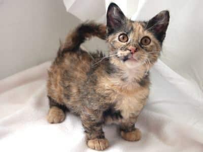 skookum-dwarf-cat