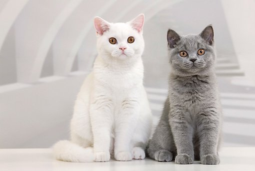 white-british-shorthair-cat-breed
