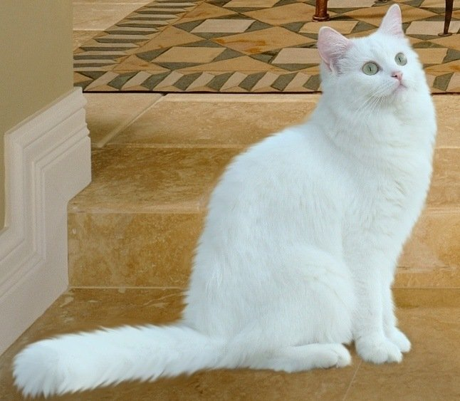 white cat breed