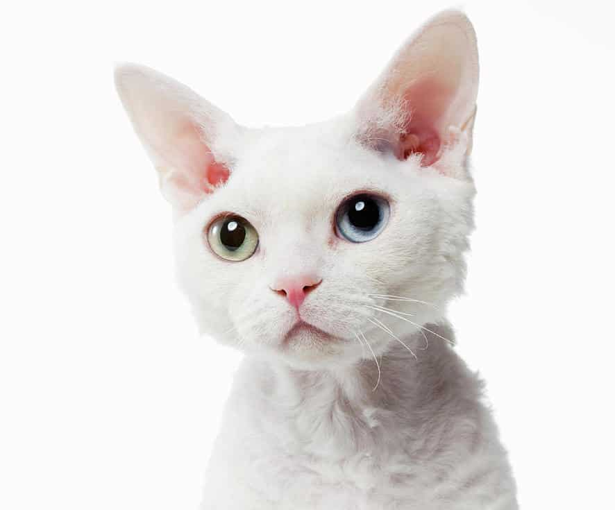 white-devon-rex-cat-breed