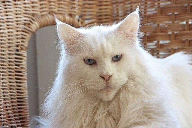 white-maine-coon-cat-breed
