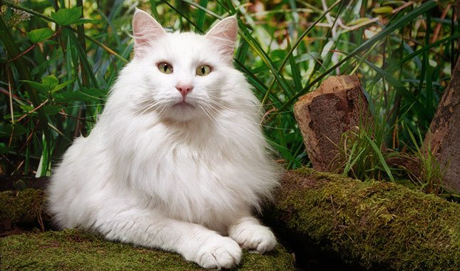 white-norwegian-forest-cat-breed