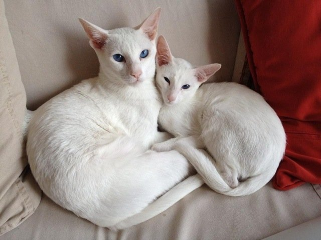 white-oriental-shorthair