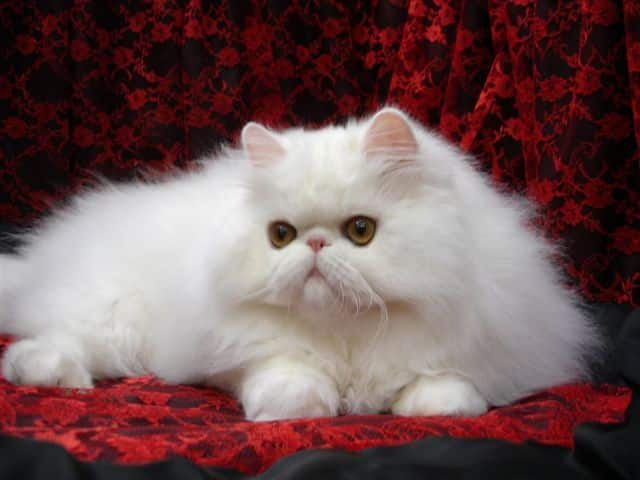 white-persian-cat-breed