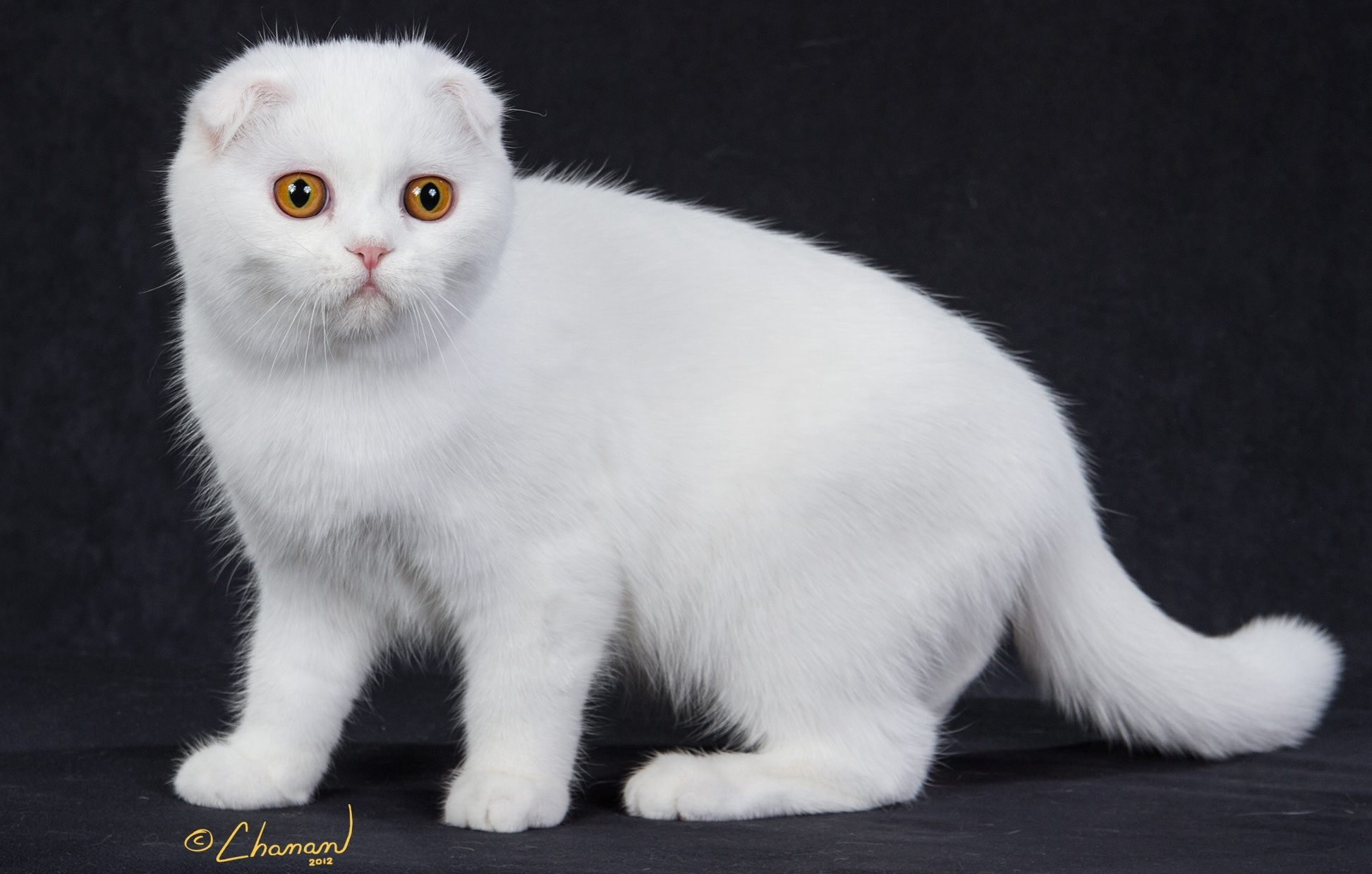 white-scottish-fold-cat-breed
