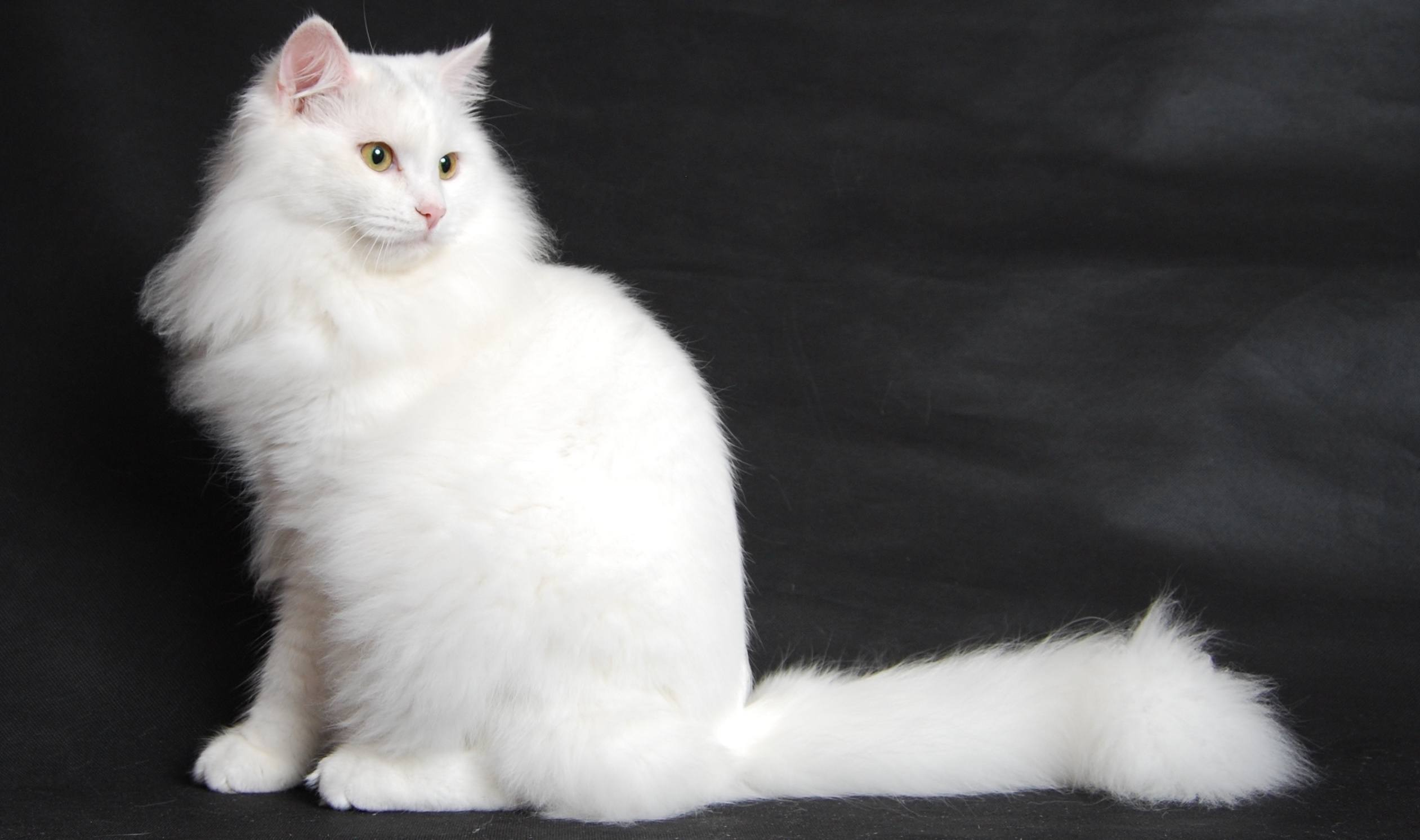 white-siberian-cat-breed
