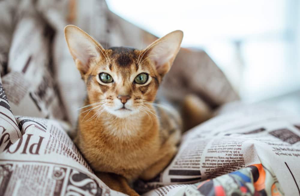 abyssinian orange cat breed