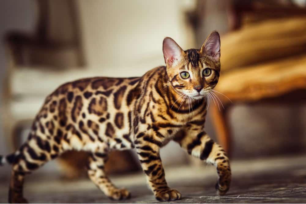 Bengal orange cat breed