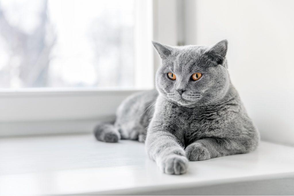 British Shorthair Cat on window sill