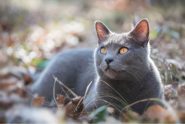 Chartreux cat outside