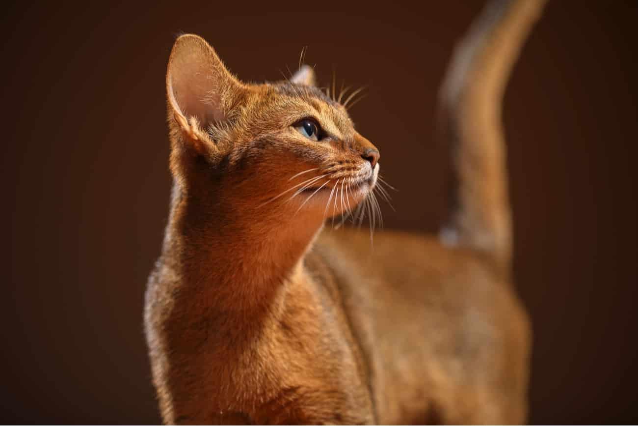Chausie orange cat breed