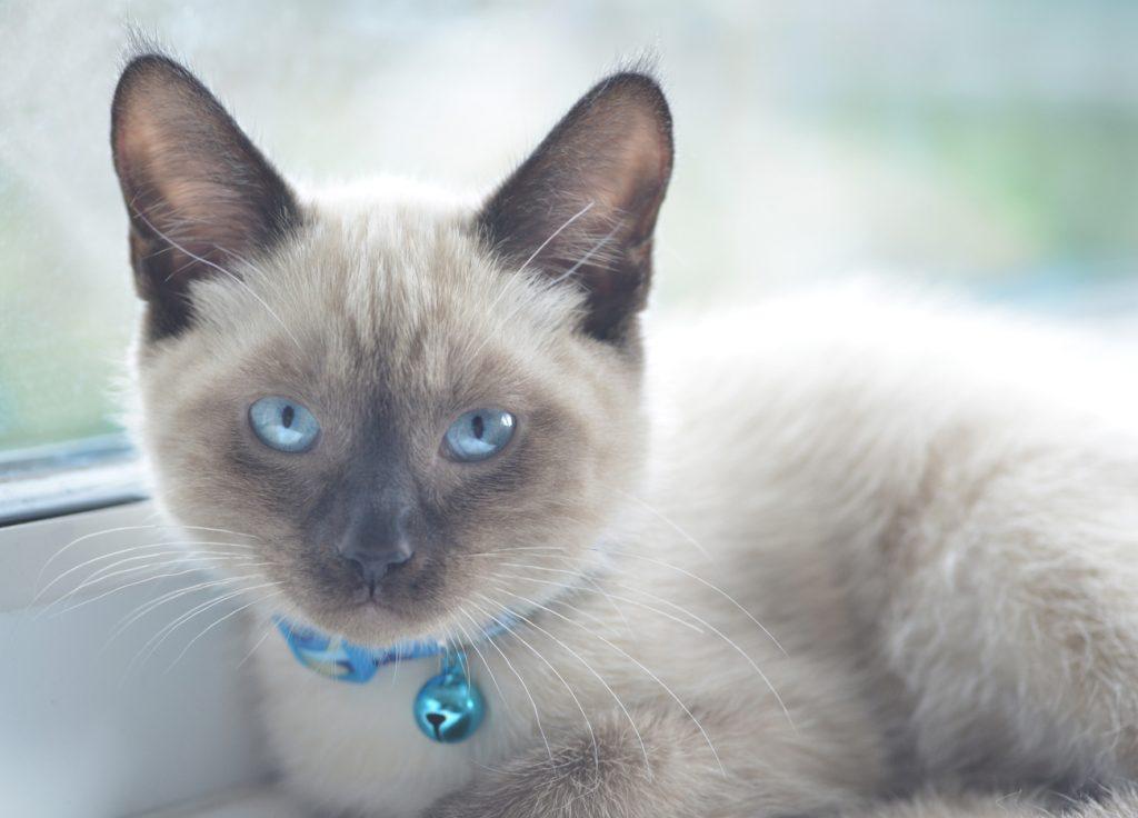 Colorpoint Shorthair Cat